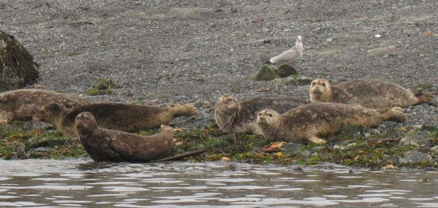 Four seals on Snake Island, 2007