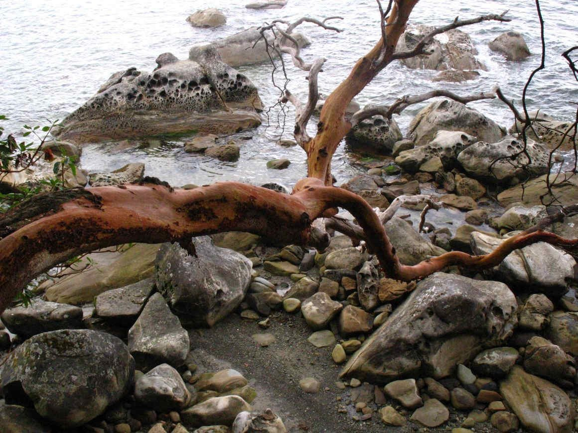 Arbutus and sandstone boulders, Newcastle Island