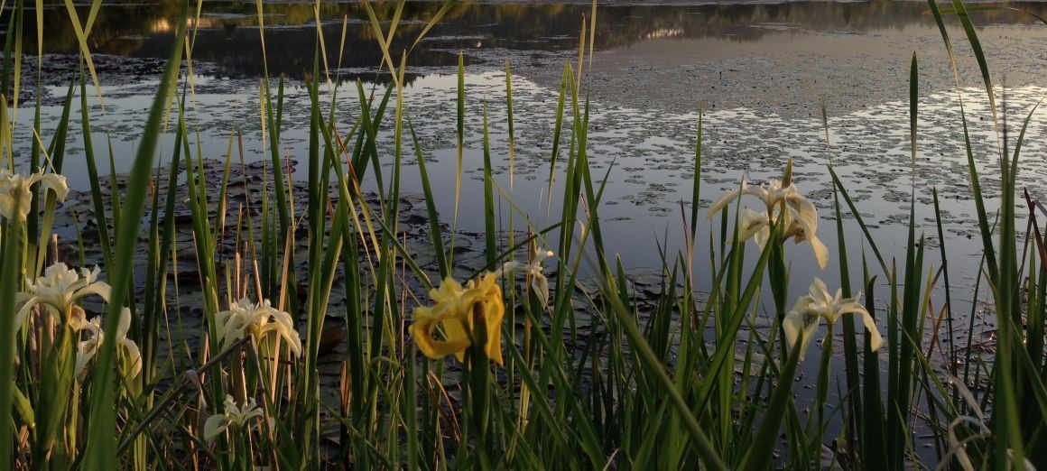 Yellow flag irises at Buttertubs Marsh